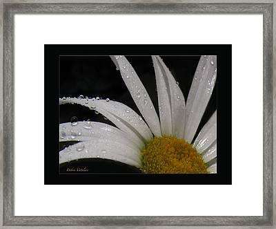 Daisy Drops Framed Print by Debra     Vatalaro