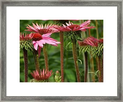 Daisy Forest Framed Print