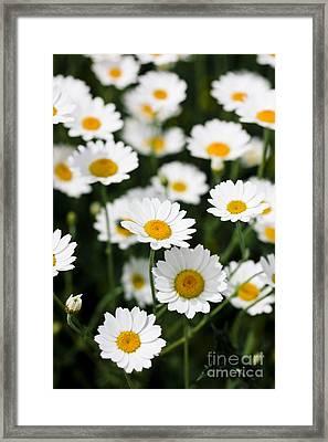 Daisy In A Field Framed Print