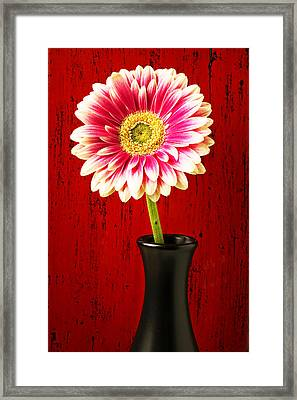Daisy In Black Vase Framed Print by Garry Gay