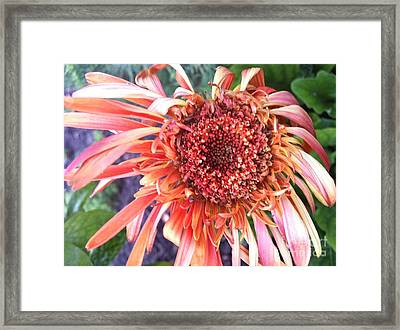 Daisy In The Wind Framed Print by Vonda Lawson-Rosa