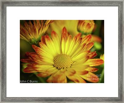 Framed Print featuring the photograph Daisy by John Burns