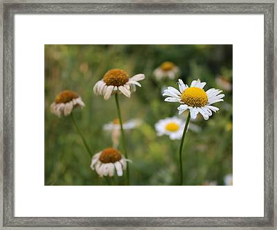 Framed Print featuring the photograph Daisy Maisy by Kathleen Holley