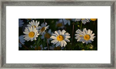 Framed Print featuring the photograph Daisy by Rima Biswas