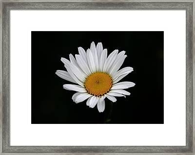 Daisy Framed Print by Steve Adams