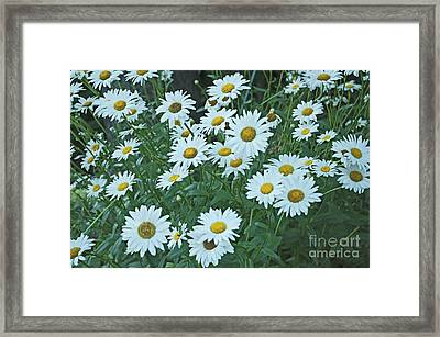 Daisy's Don't Tell Framed Print