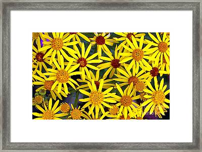 Daisys  Framed Print by Kami McKeon