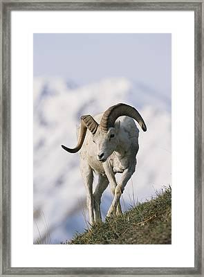 Dalls Sheep Ovis Dalli, Ram,  Denali Framed Print