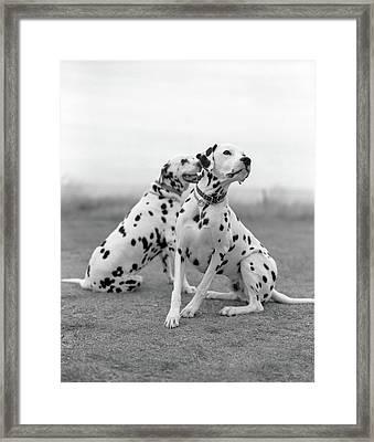 Dalmatians Framed Print by Tadas Kazakevicius Copyrigted