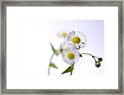 Dancing Daisy Framed Print by LeeAnn McLaneGoetz McLaneGoetzStudioLLCcom