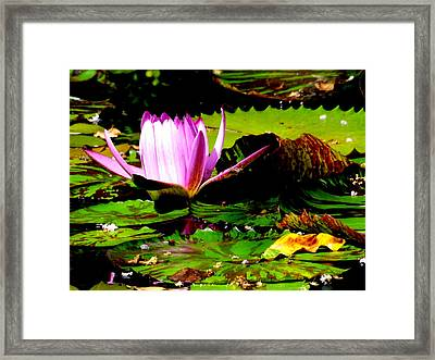 Framed Print featuring the photograph Dancing Pink Water Lilly by Jodi Terracina