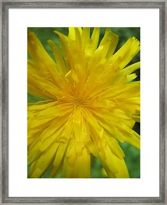 Dandelion Close Up Framed Print by Kym Backland