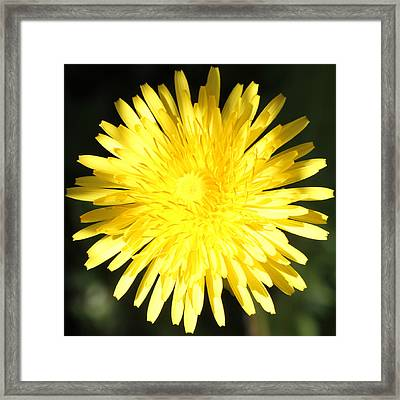 Dandelion Detail Framed Print