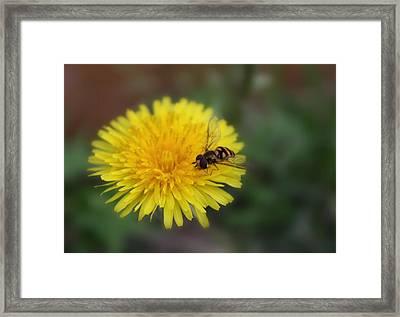 Framed Print featuring the photograph Dandelion For Dinner by Lynnette Johns
