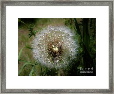 Framed Print featuring the photograph Dandelion Going To Seed by Sherman Perry