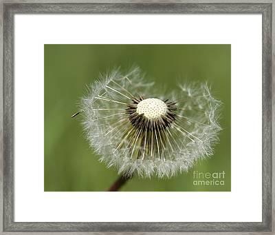 Dandelion Half Gone Framed Print by Teresa Zieba