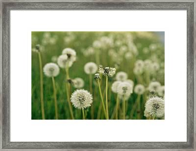 Dandelion Heads In A Field Near Walton Framed Print