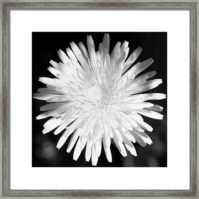 Dandelion In Black And White Framed Print