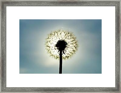 Dandelion In  Sun Framed Print by Photographer Mikael Nyberg