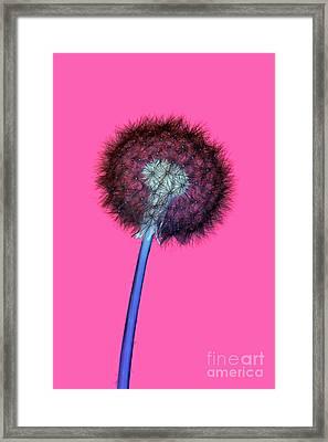 Dandelion Negative Framed Print by Richard Thomas