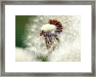 Dandelion No1 Framed Print by Falko Follert