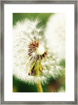 Dandelion No2 Framed Print by Falko Follert