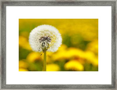 Dandelion No.3 Framed Print by Falko Follert