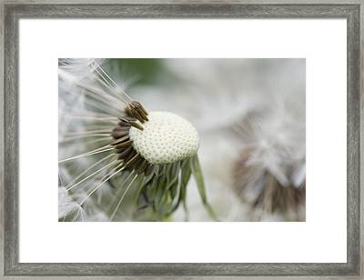 Dandelion Photograph Framed Print by Falko Follert