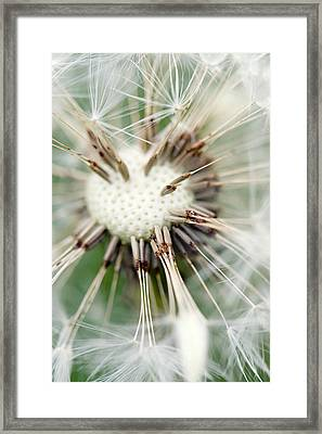 Dandelion Photography 4 Framed Print by Falko Follert