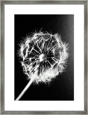 Dandelion Seed Head (taraxacum Officinale), Close-up (b&w) Framed Print by Christian Adams