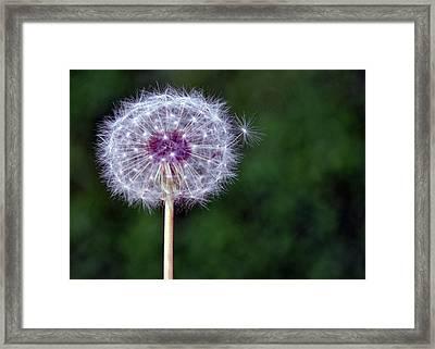 Dandelion Seed Pod Framed Print