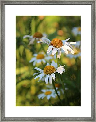 Dapper Daisies Framed Print by Kathleen Holley