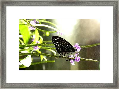 Dark Blue Tiger Butterfly In The Rain Framed Print