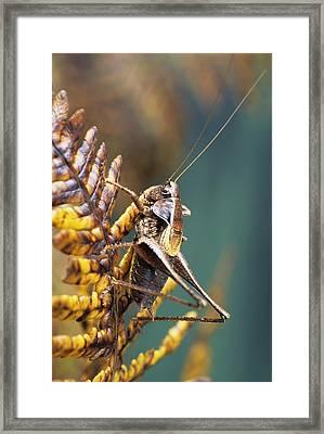 Dark Bush-cricket Framed Print by David Aubrey