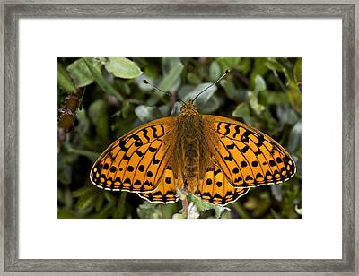 Dark Green Fritillary Butterfly Framed Print by Dr Keith Wheeler