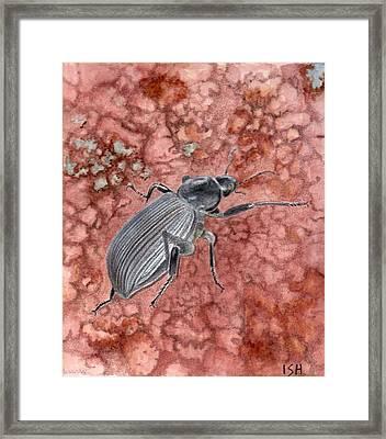 Darkling Beetle Framed Print