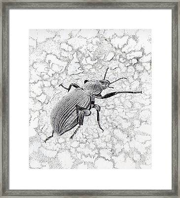 Darkling Bug Framed Print by Inger Hutton