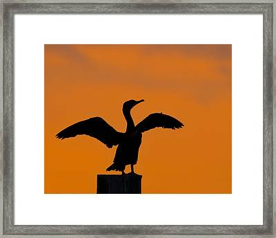 Dawn Of A Double-crested Cormorant  Framed Print by Tony Beck
