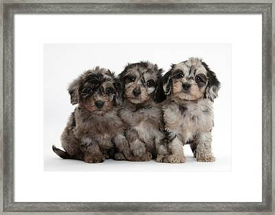 Daxiedoodle Poodle X Dachshund Puppies Framed Print by Mark Taylor