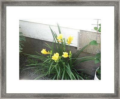 Day Lilies Framed Print by Amy Bradley