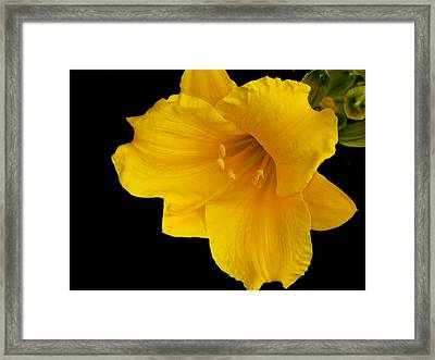Day Lilly 3 Framed Print by Barry Jones