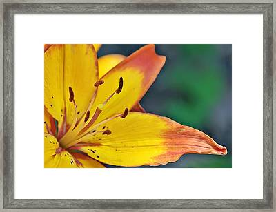 Daylily In Yellow Framed Print by Tina Karle