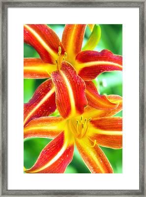 Daylily Framed Print