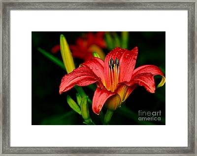 Daylily Framed Print by Ronald Monong