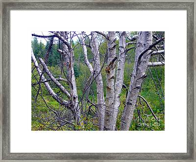 Framed Print featuring the photograph Dead Birch Tree by Jim Sauchyn