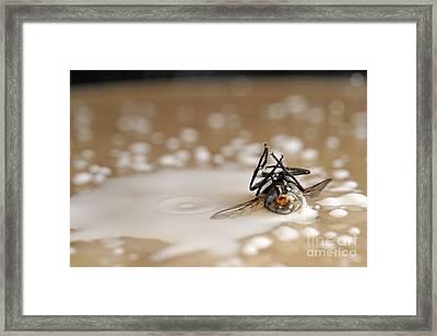 Dead Fly On Milk Drops Framed Print by Sami Sarkis