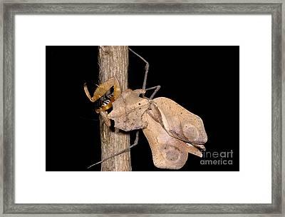 Dead-leaf Mantid Framed Print by Dant� Fenolio