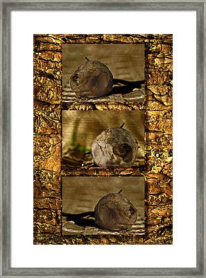 Framed Print featuring the photograph Dead Rosebud Triptych by Steve Purnell