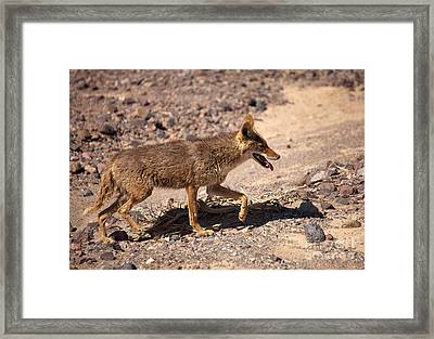 Death Valley Coyote Framed Print by Mike  Dawson