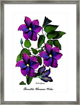 Deciduous Climber (clematis Warsaw Nike) Framed Print by Archie Young